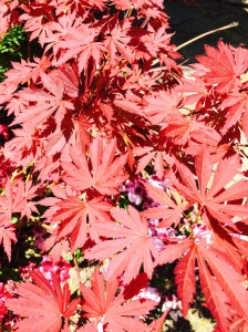 raven japanese maple