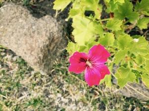 close summer geranium