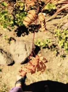 dead japanese maple