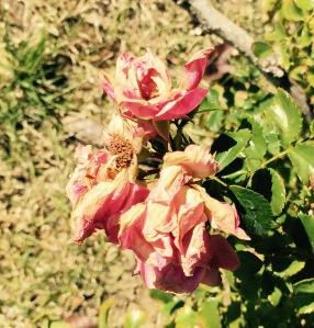 dead side rose