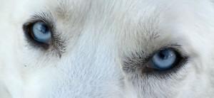 bluedogeyes