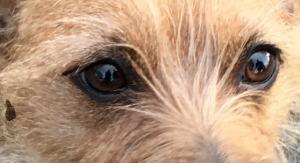 terrier eyes