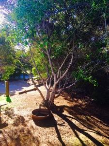 El Charro Tree