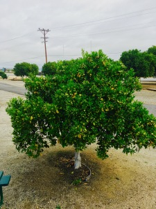Orange tree out window